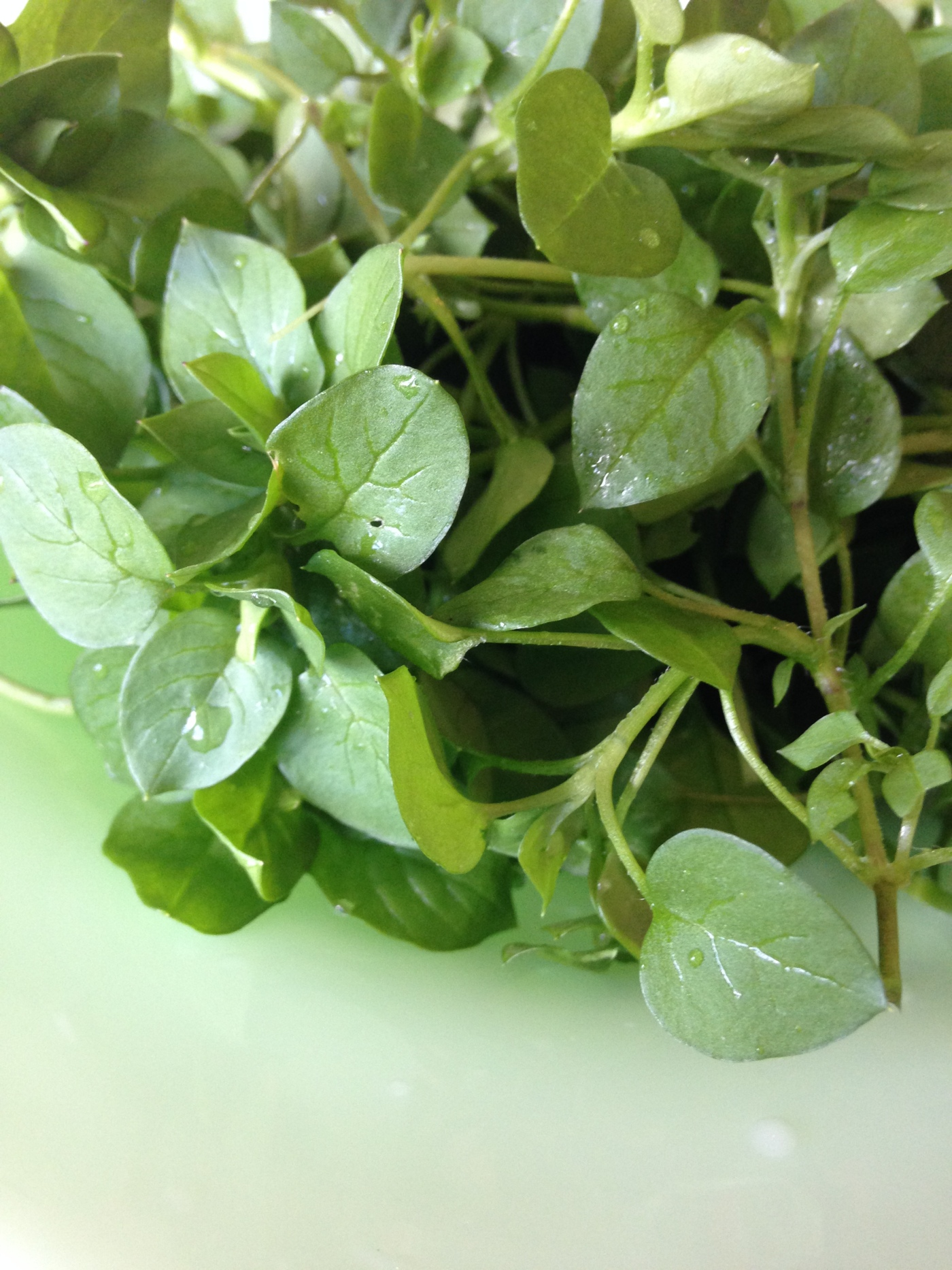Chickweed salad greens