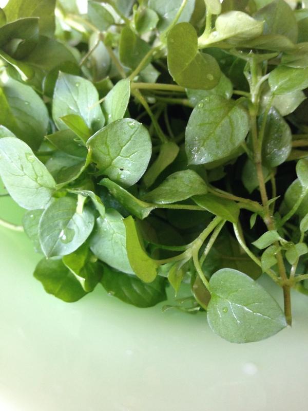 Chickweed salad greens