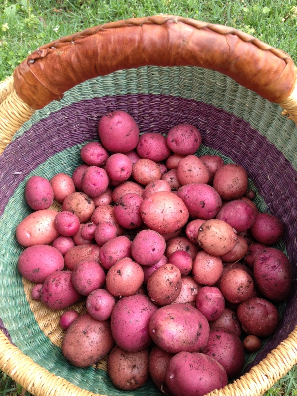 Red Norland Potatoes Red Lasoda Potatoes