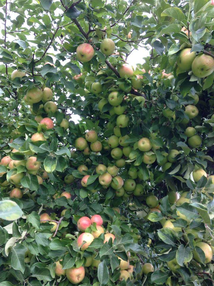 chelan apples
