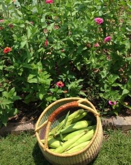 corn and zinnias