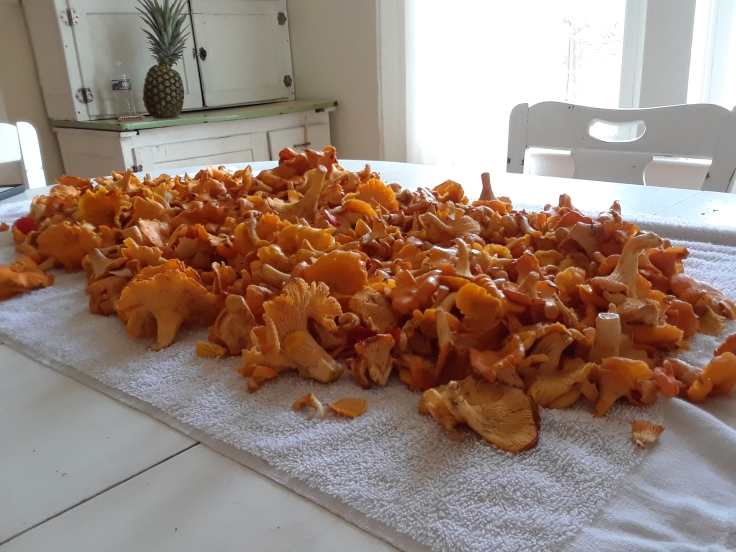 chanterelles on table