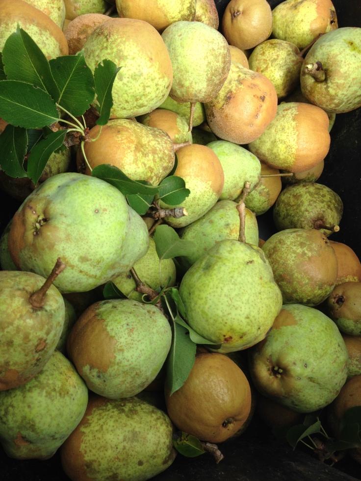 green pears in bin