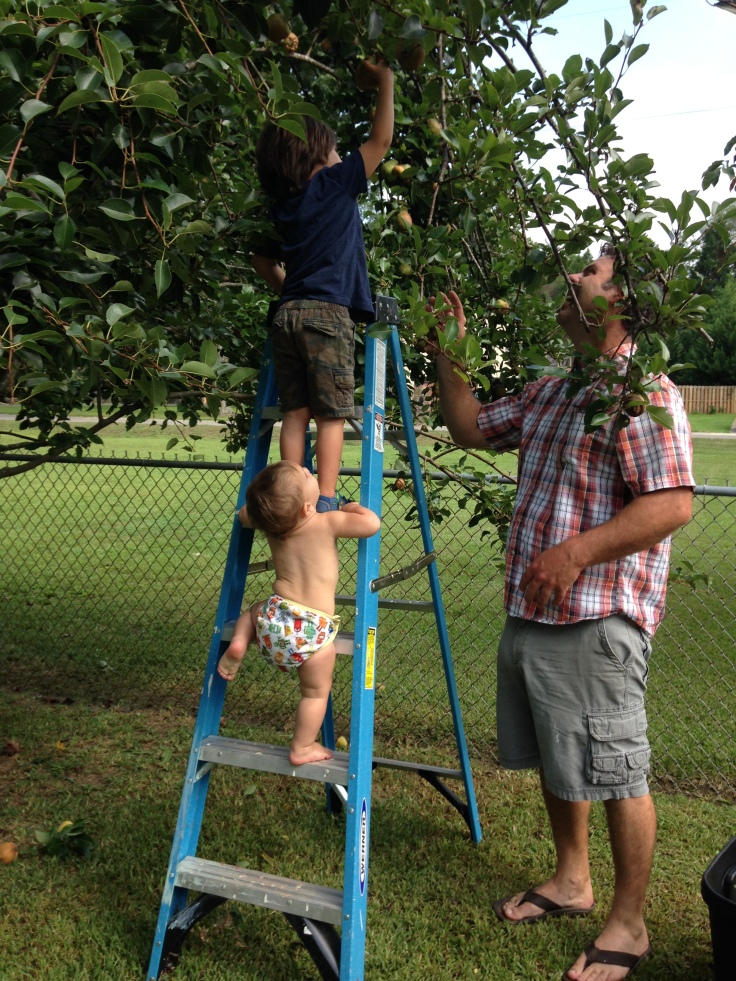 kids picking pears with dad