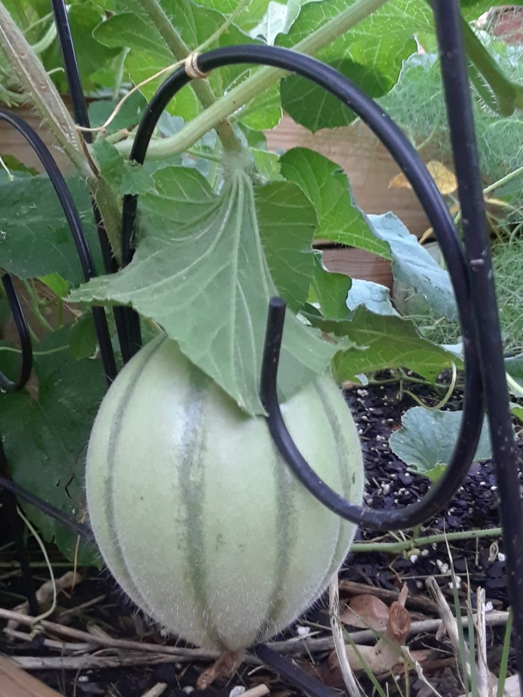 Melon on trellis